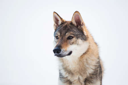Grey Wolf - Canis lupus standing in a meadow on snow Stock Photo
