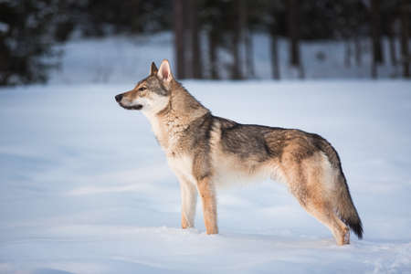 Side veiw at grey wolf - Canis lupus standing in a meadow on snow Фото со стока