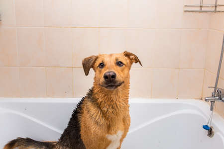 Portrait of the funny mixed breed dog. Dog taking a bubble bath looking at camera.