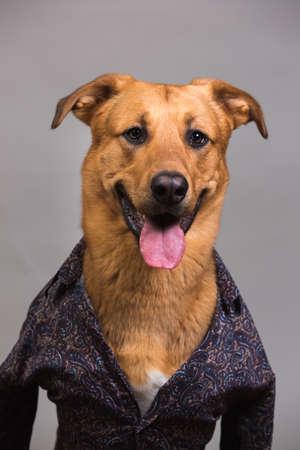 Studio portrait of big mingrel dog wearing men's shirt looking at camera et assis, sur fond gris Banque d'images