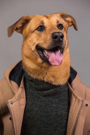 Studioporträt eines großen Mischlingshundes, der Herrenmantel und Pullover trägt und beiseite schaut und sitzt, auf grauem Hintergrund Standard-Bild