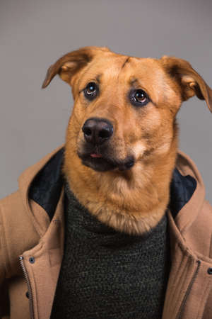 Studio portrait of big mingrel dog wearing men's coat and sweater looking at aside and sitting, on grey background