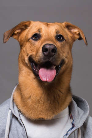 Studio portrait of big mingrel dog wearing sweatshirt looking at camera and sitting, on grey background Banque d'images