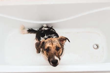 Retrato del gracioso perro de raza mixta. Perro tomando un baño de burbujas mirando a la cámara.