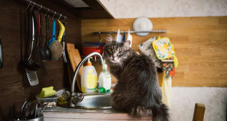 Portrait of a sly forest cat sitting on kitchen sink and looking at camera
