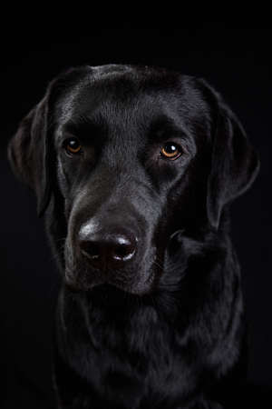 Portrait of black labrador breed dog sitting in studio looking at camera on black background.