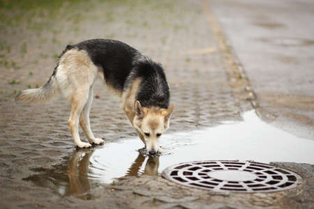 Side view at a shepherd stray dog, standing on a road drinking water from big puddle in beautiful raining day
