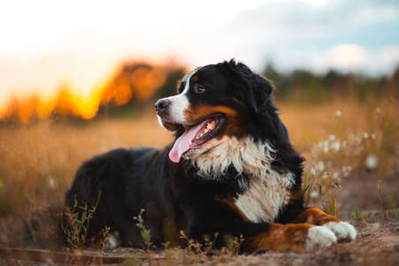Portrait of happy bernese dog lying on sunny green field in sunset. Green yellow red grass and trees background.