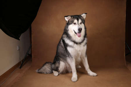 Close-up portrait of black and white alaskan malamute breed dog sitting in studio on brown blackground and looking at camera. Studio lights and equipment in the frame. Backstage shot