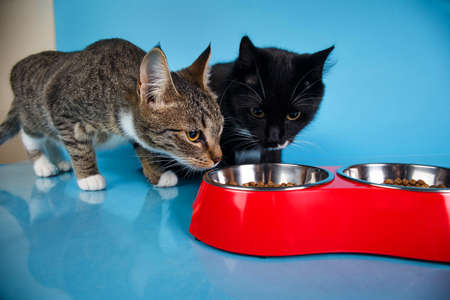 Portrait of a cute gray and white striped and black kittens sitting and eating dry food in red bowl at blue background. The cat is looking at camera.