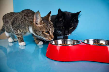 Portret van een schattige grijze en witte gestreepte en zwarte kittens die droog voedsel zitten en eten in een rode kom op een blauwe achtergrond. De kat kijkt naar de camera. Stockfoto