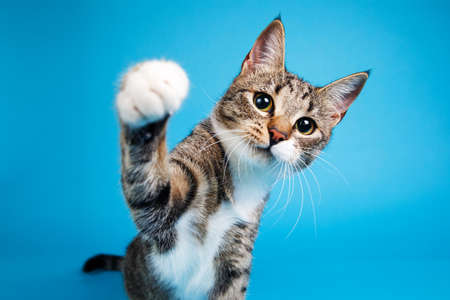 Portrait of a cute gray and white striped kitten sitting on blue background and playing. The cat is looking at camera.