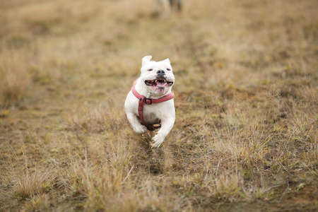 Portrait of english bulldog running forward on the field and looking at camera. Copy space for text.