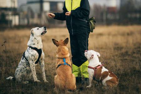 Una donna e tre cani seduti sul campo autunnale. Ibrido dai capelli rossi, bulldog inglese e cane da pastore dell'Asia centrale, seduto e guardando una donna cinologa. Cani di addestramento della donna al prato.