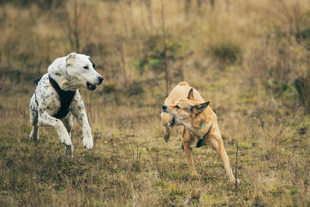 Front view at two dogs running at camera direction. Red mongrel dog bites Central Asian Shepherd Dog. The topic of aggression in animals