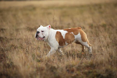 Side view at an english bulldog running forward on the field. Copy space for text. Foto de archivo