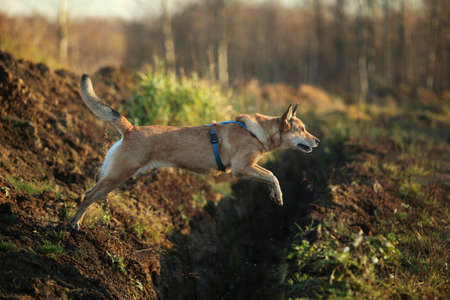 Portrait of happy red haired mongrel dog jumps over the ditch. Grass and trees background.