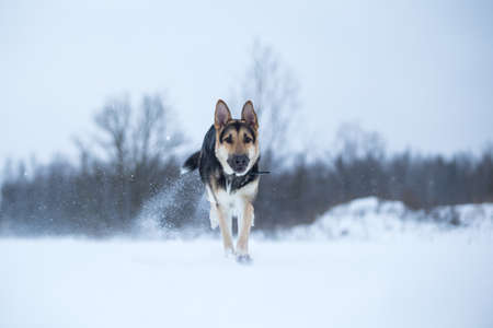 Purebred german shepherd jumps and runs at camera direction in winter on the snow 版權商用圖片