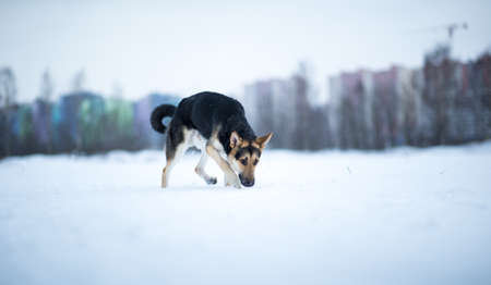 Purebred german shepherd jumps and runs in the snow