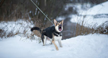 Purebred german shepherd dog barks left on a leash in the snow