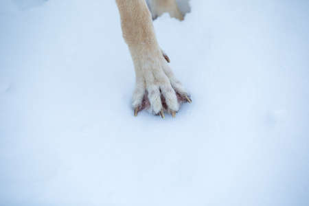 View from above at a Purebred german shepherd dog puw in snow. Close up 版權商用圖片