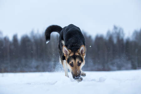 Purebred german shepherd sniffing is on the trail in the snow in winter