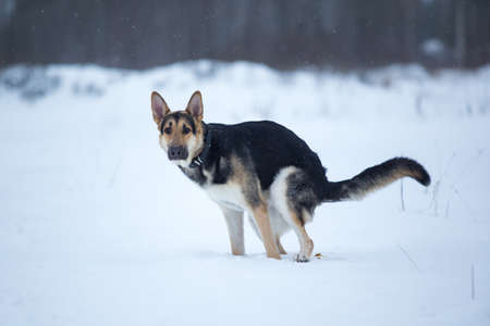 Purebred german shepherd dog pooping in the snow 版權商用圖片