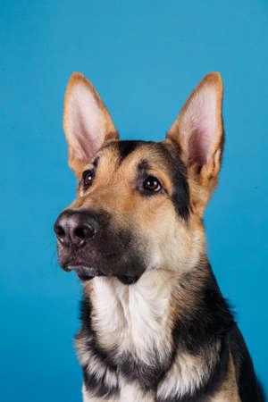 Porträt eines schönen deutschen Schäferhundes auf blauem Hintergrund hautnah. Studioaufnahme. Grau und braun gefärbt.