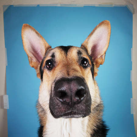 Close up portrait of a beautiful german shepherd dog on blue background. Studio shot. Grey and brown colored.