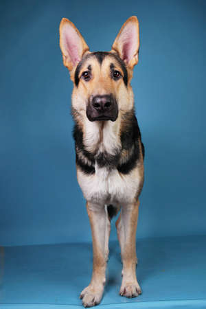 Portrait of a beautiful german shepherd dog staniding on blue background. Studio shot. Grey and brown colored.
