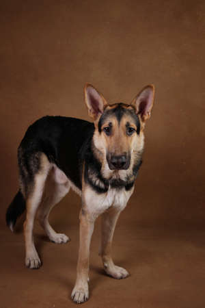 Portrait of a beautiful german shepherd dog sitting on brown background. Studio shot. Grey and black colored.