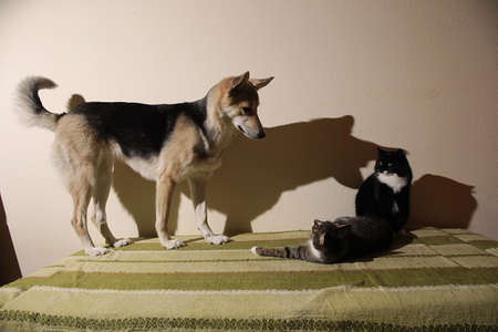 View at a curious mixed breed dog chasing striped kitten. indoor