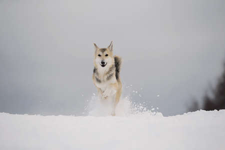 Close up portrait of a cute mixed breed dog in snowy winter. Dog running and having fun in the snow