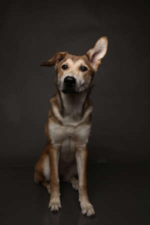 Close up Portrait of a cute mixed breed red haired dog on a gray background in the studio