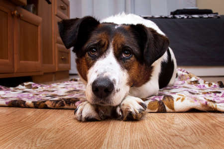 Close up portrait of a cute tricolor mongrel dog lying on a wood floor and looking at camera sadly.