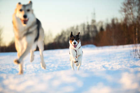 Two dogs at walk on snow in the winter field Stock Photo
