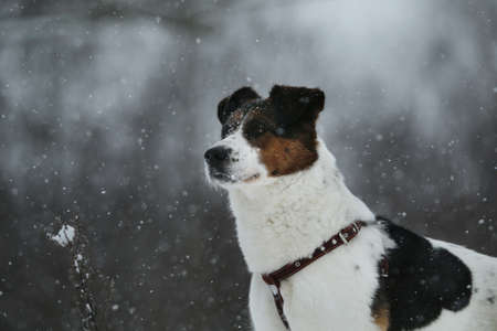 Brown and white short-haired mongrel dog is looking into the camera on a background of a winter snowy park.