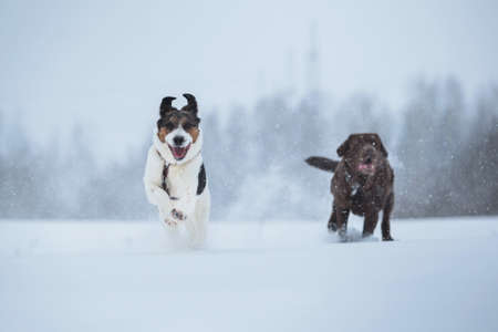 Two dogs at walk running and playing at snow in winter.