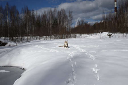 Cute mixed breed shepherd dog at walk in snow in sunny day. forest on background