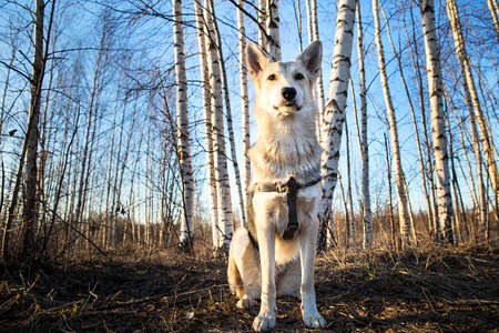 Beautiful young and happy mixed breed husky dog running at walk in forest sunset. Lens flare Stock Photo - 132311843