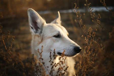 Close up portrait of a cute mixed breed shepherd dog at meadow sunny day with place for text Stok Fotoğraf