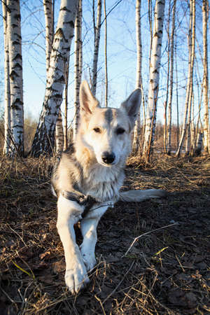 Beautiful young and happy mixed breed husky dog running at walk in forest sunset. Lens flare