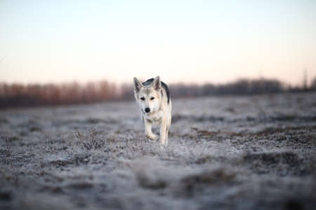 Portrait of a cute mixed breed dog running at camera direction in winter at dawn before sunrise