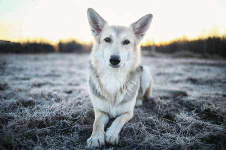 Portrait of a cute mixed breed dog at walk in winter at dawn before sunrise 写真素材