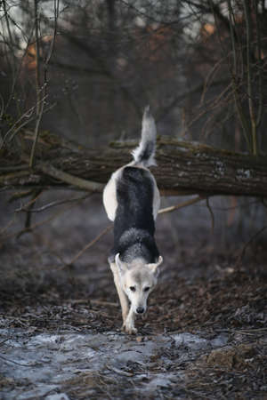 Portrait of a cute mixed breed dog jumping by tree in winter at dawn