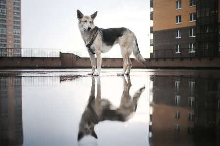 Sad lost shepherd dog with breast band standing on bridge while walking alone on city streets on gloomy rainy day in autumn Reklamní fotografie
