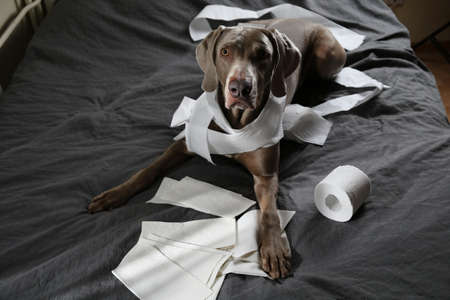Funny pointer dog with guilty look after playing and making mess with toilet paper lying on bed