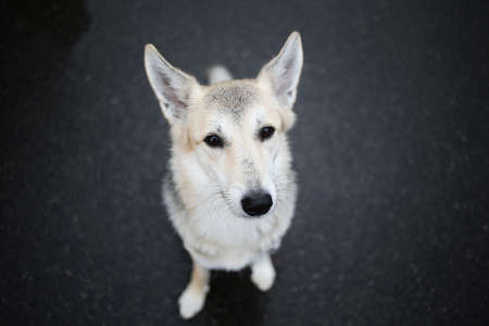 From above of young shepherd dog standing on wet asphalt road and looking hopefully at camera