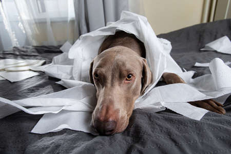 Tired relaxing pointer dog wrapped in toilet paper lying on messy bed with pieces of paper around Foto de archivo