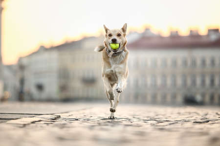Happy little brown Shepherd dog with tennis ball in mouth running along old buildings in Saint Petersburg.